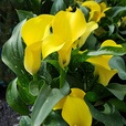 Zantedeschia Black Magic (Calla Lily)