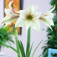 Amaryllis Magic Green 34cm+