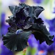 Iris Germanica Obsidian