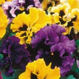 Pansy Can Can Mixed (Garden Ready)