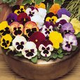 Pansy XXL Mixed (Garden Ready)