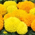 Marigold Taishan Mixed (Garden Ready)