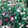 Lobelia Cascade Mixed (Garden Ready)