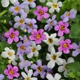 Bacopa Topia Mixed (Garden Ready)