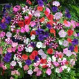 Petunia Easy Wave Mixed (Garden Ready)