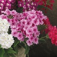 Verbena Quartz Mixed (Garden Ready)
