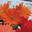Gerbera Revolution Mix (Garden Ready)