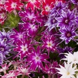 Phlox Popstars Mixed (Garden Ready)