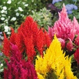 Celosia Mixed (Garden Ready)