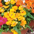 Nemesia Sundrops Mixed (Garden Ready)
