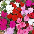 Impatiens New Guinea Divine (Garden Ready)