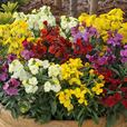Wallflower Sugar Rush (Garden Ready)