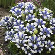 Gentiana Royal Stripes