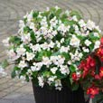 Begonia Mighty Flora (Garden Ready Plants)