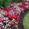 Begonia Semperflorens Devil Mix (Maxi Plugs)