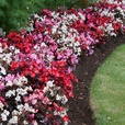Begonia semp. Devil Mix (Garden Ready)