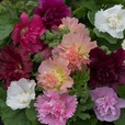 Hollyhocks Dwarf Celebrity Mixed (Garden Ready)