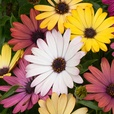 Osteospermum Akila Grand Canyon (Garden Ready)