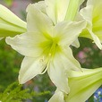 Amaryllis Sonatini Marrakech (Outdoor)