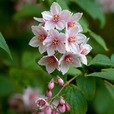 Deutzia hybrida 'Mont Rose'
