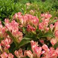 Weigela All Summer Peach