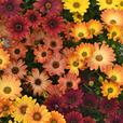 Osteospermum Sunset Shades (Garden Ready)