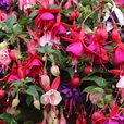 Fuchsia Trailing Mixed (Pre-planted Basket)