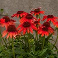 Echinacea Red Pearl