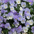 Pansy Cool Wave Frost(Maxi Plug)