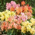 Antirrhinum Twinny Mix (Garden Ready)