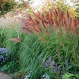 Miscanthus sinensis Red Chief