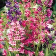 Penstemon barbatus 'Cambridge' Mix