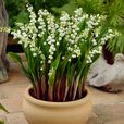 Lily of the Valley (Giant)