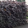 Beech Hedging (Purple)