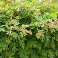 Quickthorn/Hawthorn Hedging