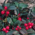 Gaultheria procumbens (Partridge Berry)