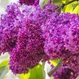 Syringa Lilac Collection