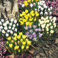 Crocus Winter Botanical Mixed