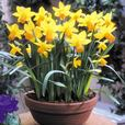 Narcissi Jetfire 10/12cm Bulbs