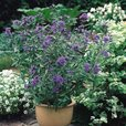 Dwarf Flowering Shrubs