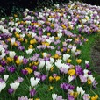 Crocus Large Flowering Mixed 9cm+