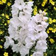 Delphinium Pacific Giant Collection