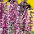 Salvia Nemorosa Rose Queen
