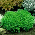 Hebe - Dwarf Evergreen Collection