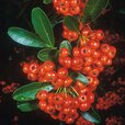 Pyracantha Collection