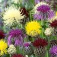 Centaurea Breeders Mixed