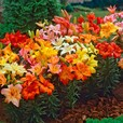 Lily - Dwarf Asiatic Lilies Mixed