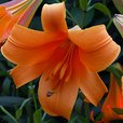 Lily African Queen