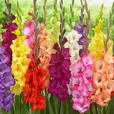 Gladioli Butterfly Mixed 8/10cm