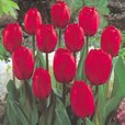 Tulip Red Impression 11/12cm
